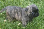 Brindle Pug 6 Weeks