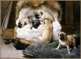 Pug Dog Club Of Colour